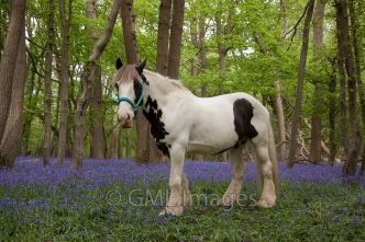 A picture of Mojo in a bluebell wood.
